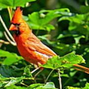Cardinal 119 Art Print