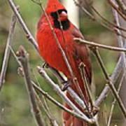 Cardinal 123 Art Print