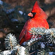 Cardinal And Evergreen Art Print