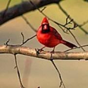 Cardinal Beauty Art Print