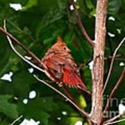 Cardinal Bird Baby Art Print