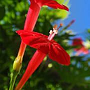 Cardinal Climber Flowers Art Print