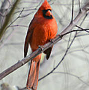 Cardinal In A Tree Print by Susan Leggett