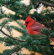 Cardinal In Balsam Art Print