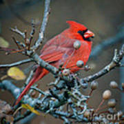 Cardinal In The Berries Art Print