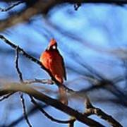 Cardinal In The Midst Art Print