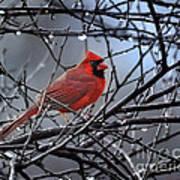 Cardinal In The Rain   Art Print