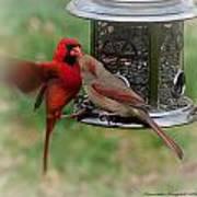 Cardinal Kiss Art Print