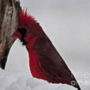 Cardinal 1 Art Print