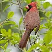 Cardinal Pictures 123 Art Print