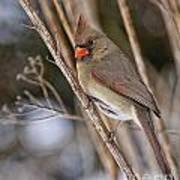 Cardinal Pictures 50 Art Print