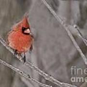 Cardinal Pictures 97 Art Print