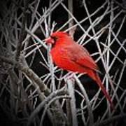 Cardinal Red With Black Art Print