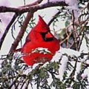 Cardinal Snowbound Art Print