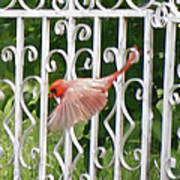 Cardinal Tail Up Landing Art Print