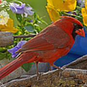 Cardinal With Pansies And Decorations Art Print