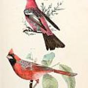 Cardinals Print by Philip Ralley