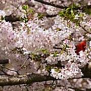 Cardnel In A Cherry Tree Art Print