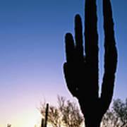 Cardon Cactus Silhouette Art Print