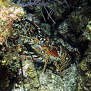 Caribbean Reef Lobster On Night Dive Art Print