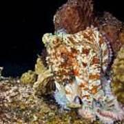 Caribbean Reef Octopus II Art Print