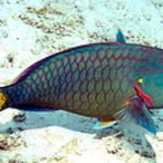 Caribbean Stoplight Parrot Fish In Rainbow Colors Art Print
