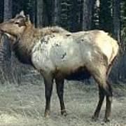 Elk Side Profile - Banff, Alberta Art Print