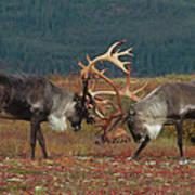 Caribou Males Sparring Art Print by Matthias Breiter