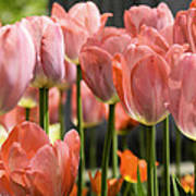 Caring Pink Tulip Time Art Print