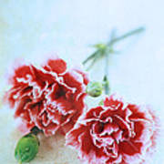 Carnations Art Print by Stephanie Frey