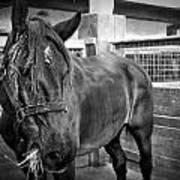 Carriage Horse Art Print