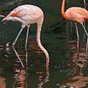 Cartoon - A Flamingo With Its Head Under Water In The Jurong Bird Park Art Print