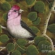 Cassins Finch Art Print