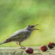 Catbird Eating Cherries Art Print