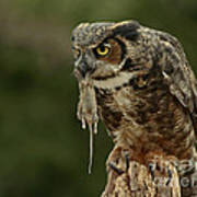Catch Of The Day - Great Horned Owl  Art Print by Inspired Nature Photography Fine Art Photography