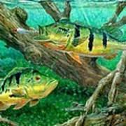 Catching Peacock Bass - Pavon Art Print