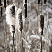 Cattails In Winter Art Print