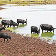 Cattle At Big Lake Arizona Art Print