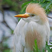 Cattle Egret Print by Skip Willits