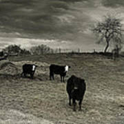 Cattle In The Winter Pasture Series Image 2 Art Print