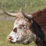 Cattle With Horns Side Portrait Art Print