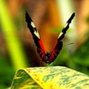 Cattleheart Butterfly  Art Print