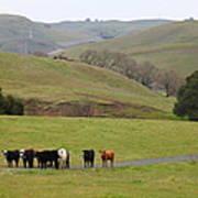 Cattles At Fernandez Ranch California - 5d21062 Art Print