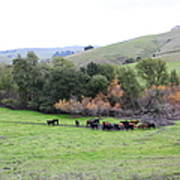 Cattles At Fernandez Ranch California - 5d21070 Print by Wingsdomain Art and Photography