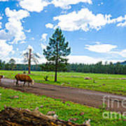 Cattles Roaming Through Hawley Lake Arizona Art Print