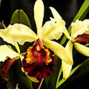 Cattleya Too Art Print