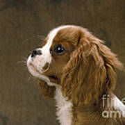 Cavalier King Charles Spaniel Dog Art Print