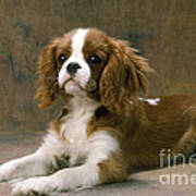 Cavalier King Charles Spaniel Dog Lying Art Print