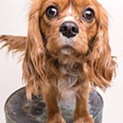 Cavalier King Charles Spaniel Puppy Art Print
