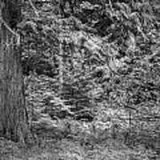 Cedar Along The Trail Of Cedars Glacier National Park Bw Art Print